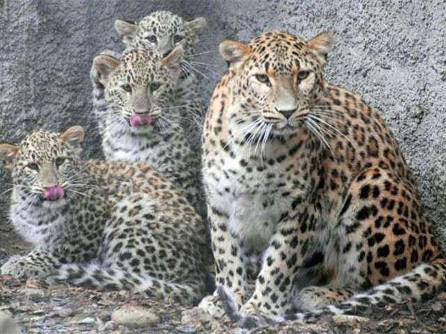 فهود اسود ونمور برية الحيوانات المفترسة feline4.jpg