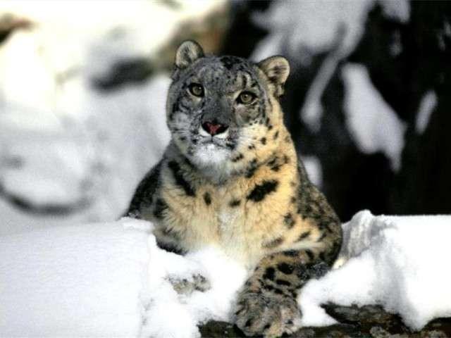 فهود اسود ونمور برية الحيوانات المفترسة feline24.jpg